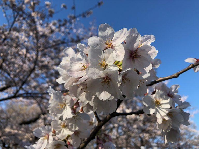 桜が咲きましたね。