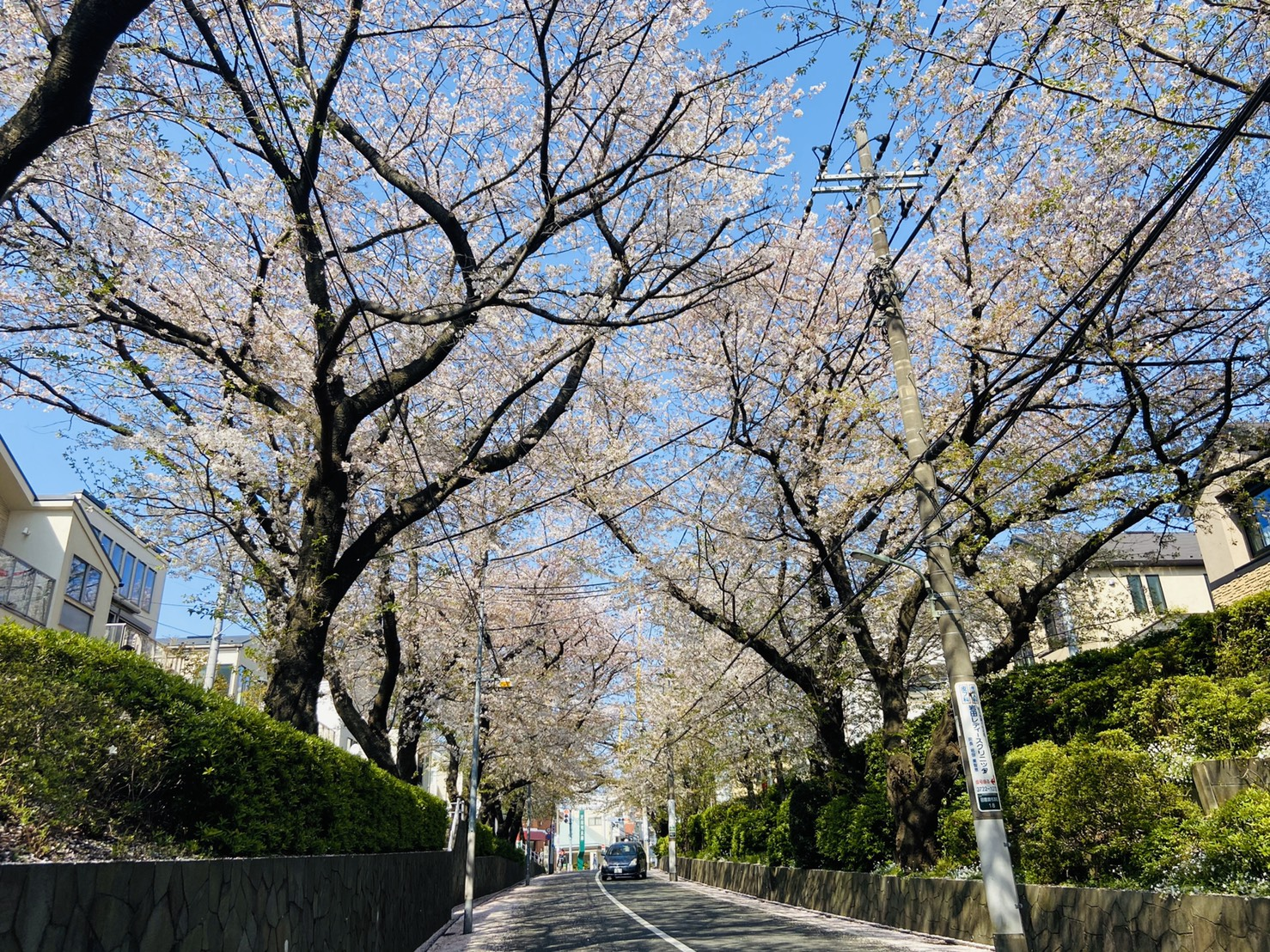 桜花 何が不足で ちりいそぐ