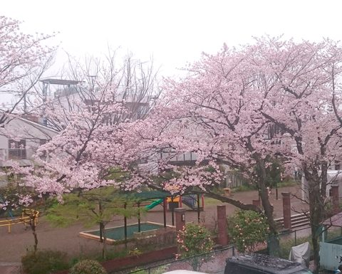 ようやく桜が満開です