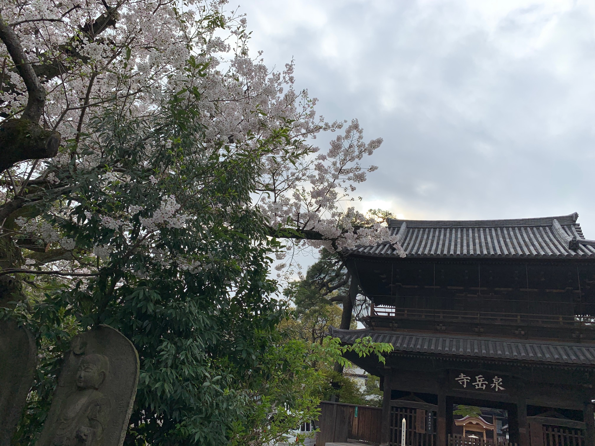 こんな世の中でも泉岳寺の桜は今年も満開です!