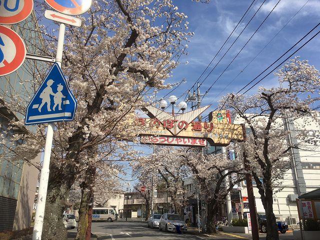 桜の名所��(柏市増尾・新柏編)