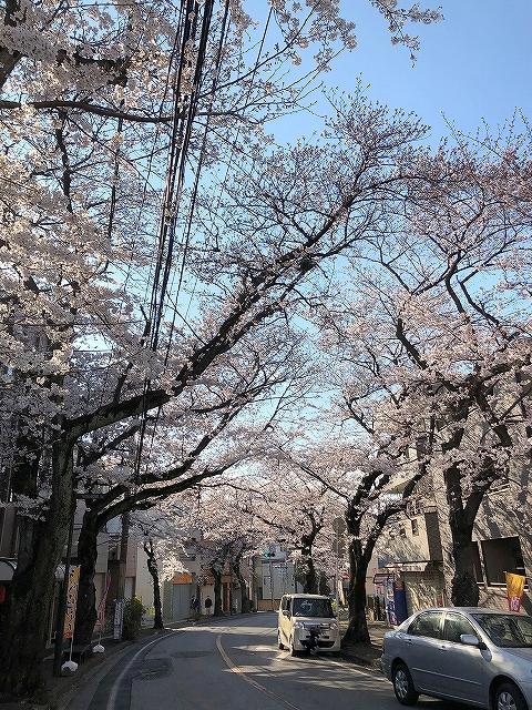 桜満開������~柏市増尾周辺~