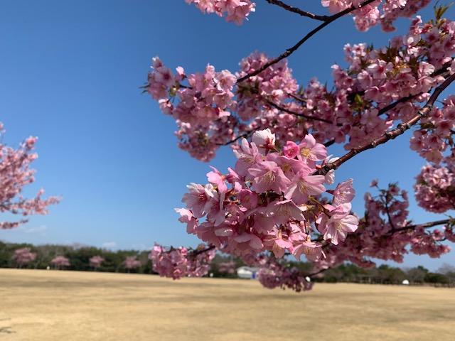 吉田町 静岡県営吉田公園 桜♪