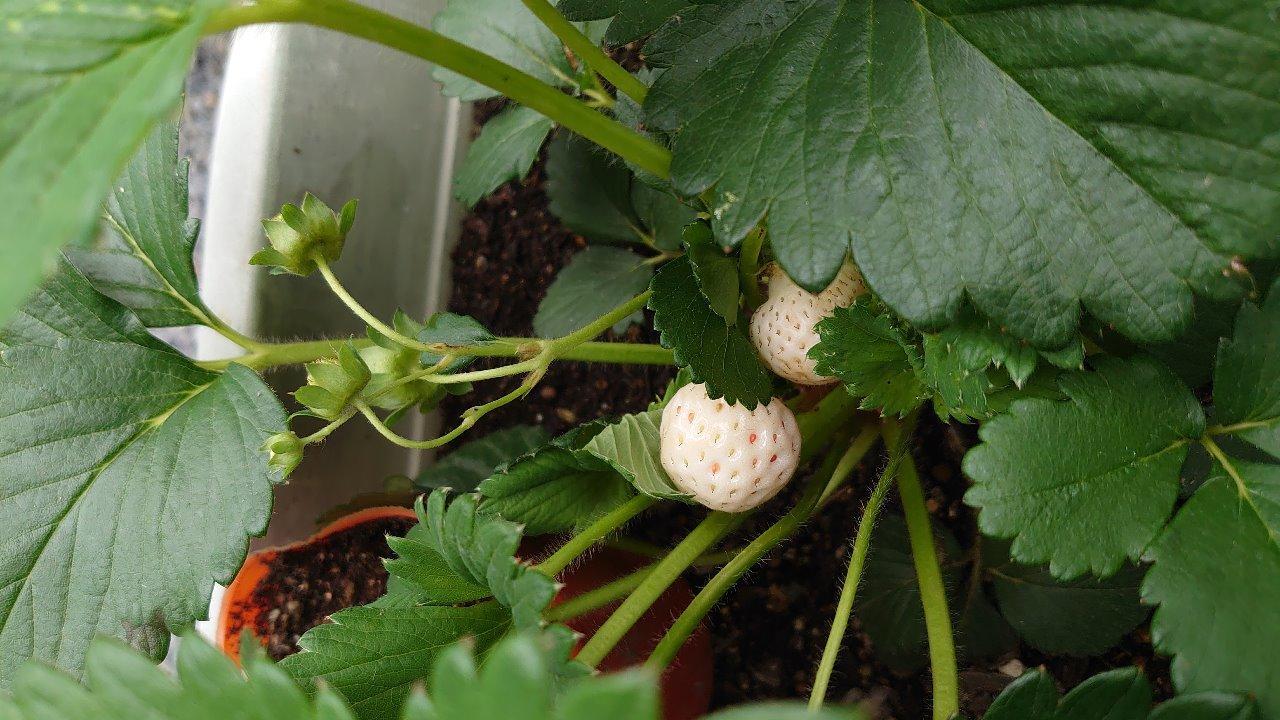 甘くて酸味が味わえる白いイチゴをプランターで栽培しました