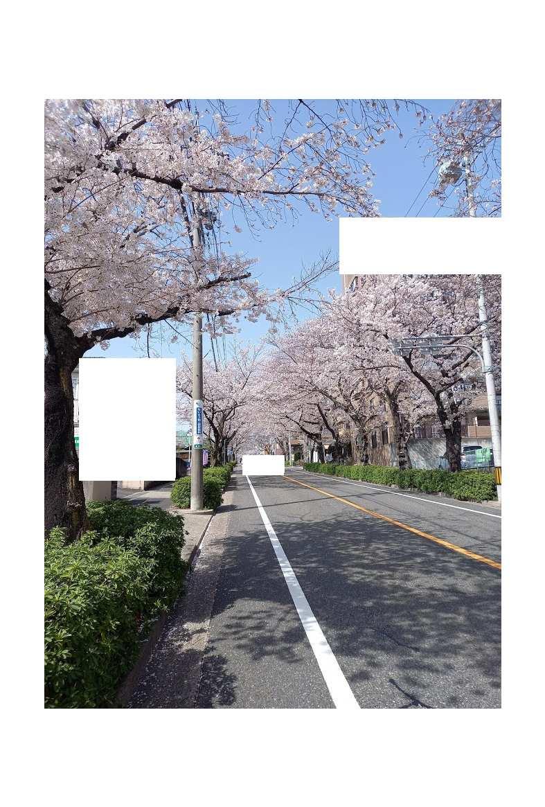 植田の桜のトンネル