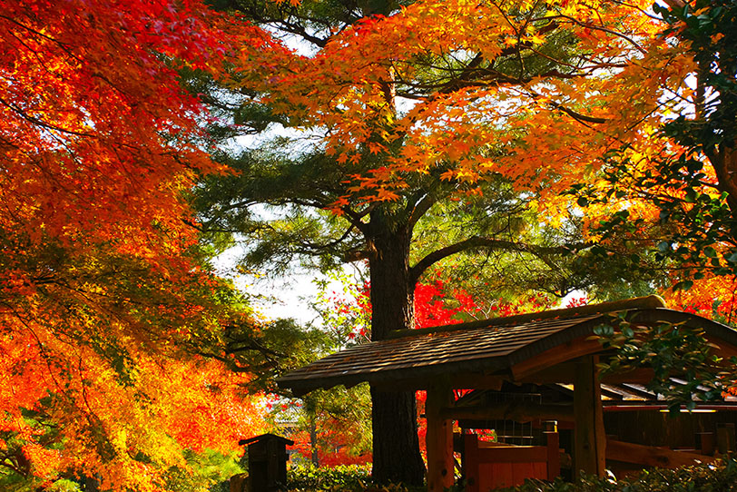 紅葉の見ごろを迎えています
